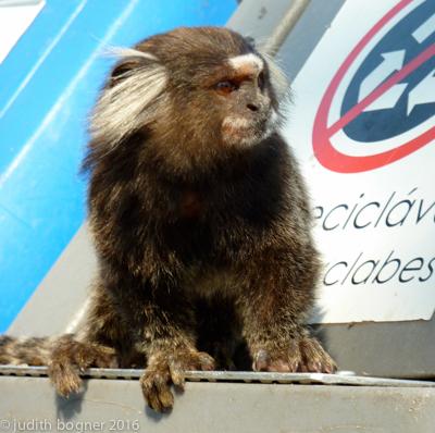 Marmoset monkey hogging the recycling bin, Sugarloaf Mountain, Rio de Janeiro